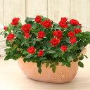 <専門店のバラの鉢植え> 花色が選べる 送料無料 デイリーローズ 誕生日プレゼント 結婚記念日 女性 誕生日 母 祖母 ギフト 花 還暦祝…