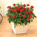 <専門店のバラの鉢植え> 花色が選べる 送料無料 リエールスクエア 誕生日プレゼント 結婚記念日 女性 誕生日 母 祖母 ギフト 花 還…