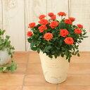 <専門店のバラの鉢植え> 花色が選べる 送料無料 ナチュリーフ・S 誕生日プレゼント 結婚記念日 女性 誕生日 母 祖母 ギフト 花 還暦…