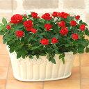<専門店のバラの鉢植え> 花色が選べる 送料無料 キューティーローズ 誕生日プレゼント 結婚記念日 女性 誕生日 母 祖母 ギフト 花 還…