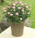 <専門店のバラの鉢植え> 花色が選べる 送料無料 トゥジュール 誕生日プレゼント 結婚記念日 女性 誕生日 母 祖母 ギフト 花 還暦祝い…