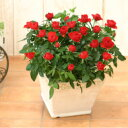<専門店のバラの鉢植え> 花色が選べる 送料無料 リエールスクエア 誕生日プレゼント 結婚記念日 女性 誕生日 母 祖母 ギフト 花 還暦…