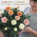 【送料無料】【お歳暮】大輪ミニバラの寄せ植え♪もらって嬉しい!「特別感」を贈ります【楽ギフ_メッセ入力】