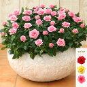<専門店のバラの鉢植え> 花色が選べる シュガー・ラージ 誕生日プレゼント 結婚記念日 女性 誕生日 母 祖母 ギフト 花 還暦祝い 生…