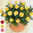 <専門店のバラの鉢植え> 花色が選べる 送料無料 エコロサークル 誕生日プレゼント 結婚記念日 女性 誕生日 母 祖母…