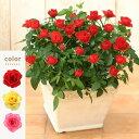<専門店のバラの鉢植え>花色が選べる 送料無料 リエールスクエア 誕生日プレゼント 結婚記念日 女性 誕生日 母 祖母 ギフト 花 還暦…