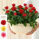 <専門店のバラの鉢植え> 花色が選べる 送料無料 リエール・オーバル 誕生日プレゼント 結婚記念日 女性 誕生日 母 祖母 ギフト 花 還…