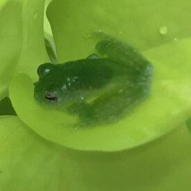 チリキーアマガエルモドキ 両生類 カエル グラスフロッグ