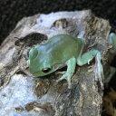 イエアメガエル 5〜6cm 両生類 カエル