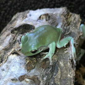 イエアメガエル ベビー 4〜5cm 両生類 カエル