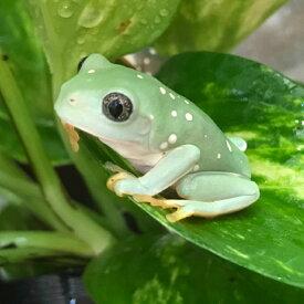 フトアマガエル ベビー 3cm前後  別名メキシコフトアマガエル両生類 カエル ツリーフロッグ