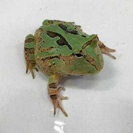 コケゾン(ホオコケアマゾンツノガエル) 6〜7cm 両生類 ツノガエル