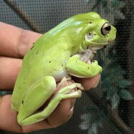 イエアメガエル ビッグサイズ6〜7cm WC 両生類 カエル
