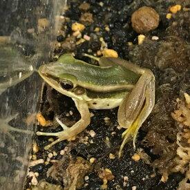 アジアミドリガエル 4cm前後 WC 両生類 カエル