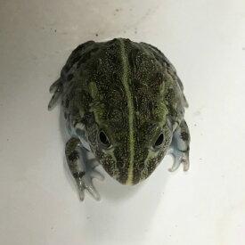 アフリカウシガエル ベビー3cm 両生類 カエル