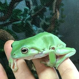 イエアメガエル ビッグサイズ 約7〜8cm WC 両生類 カエル