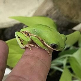 テヅカミネコメガエル 4cm前後 両生類 カエル ツリーフロッグ