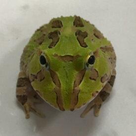 ホオコケツノガエル 4〜5cm前後 小型のツノガエル 両生類