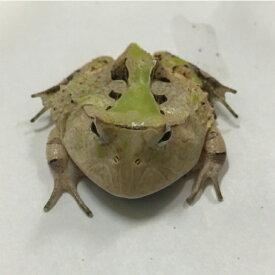 アマゾンツノガエル 4〜5cm 両生類 ツノガエル