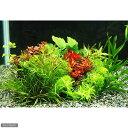 (水草)小型水槽用水草10種セット(無農薬)(1パック) 熱帯魚