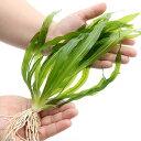 (水草)エキノドルス ウルグアイエンシス(無農薬)(1株)