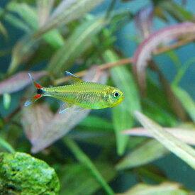 (熱帯魚)ハイフェソブリコンsp.ウォルターレッド(ワイルド)(1匹) 北海道・九州航空便要保温