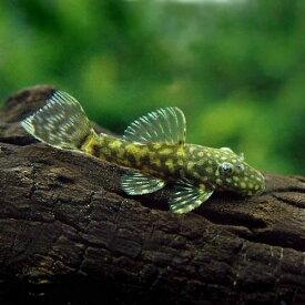 (熱帯魚)ミニブッシープレコ(4匹) 北海道・九州航空便要保温