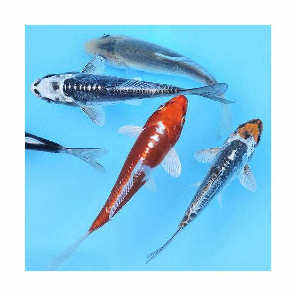 (錦鯉)錦鯉ミックス Sサイズ(3匹)