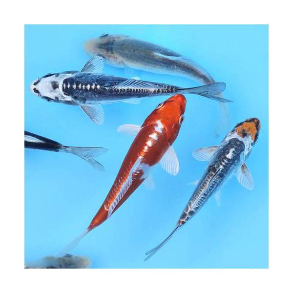(錦鯉)錦鯉ミックス Sサイズ(5匹)