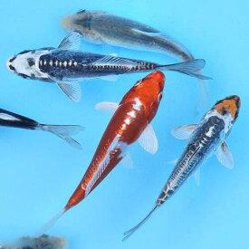 (錦鯉)錦鯉ミックス Sサイズ 6〜10cm(10匹)
