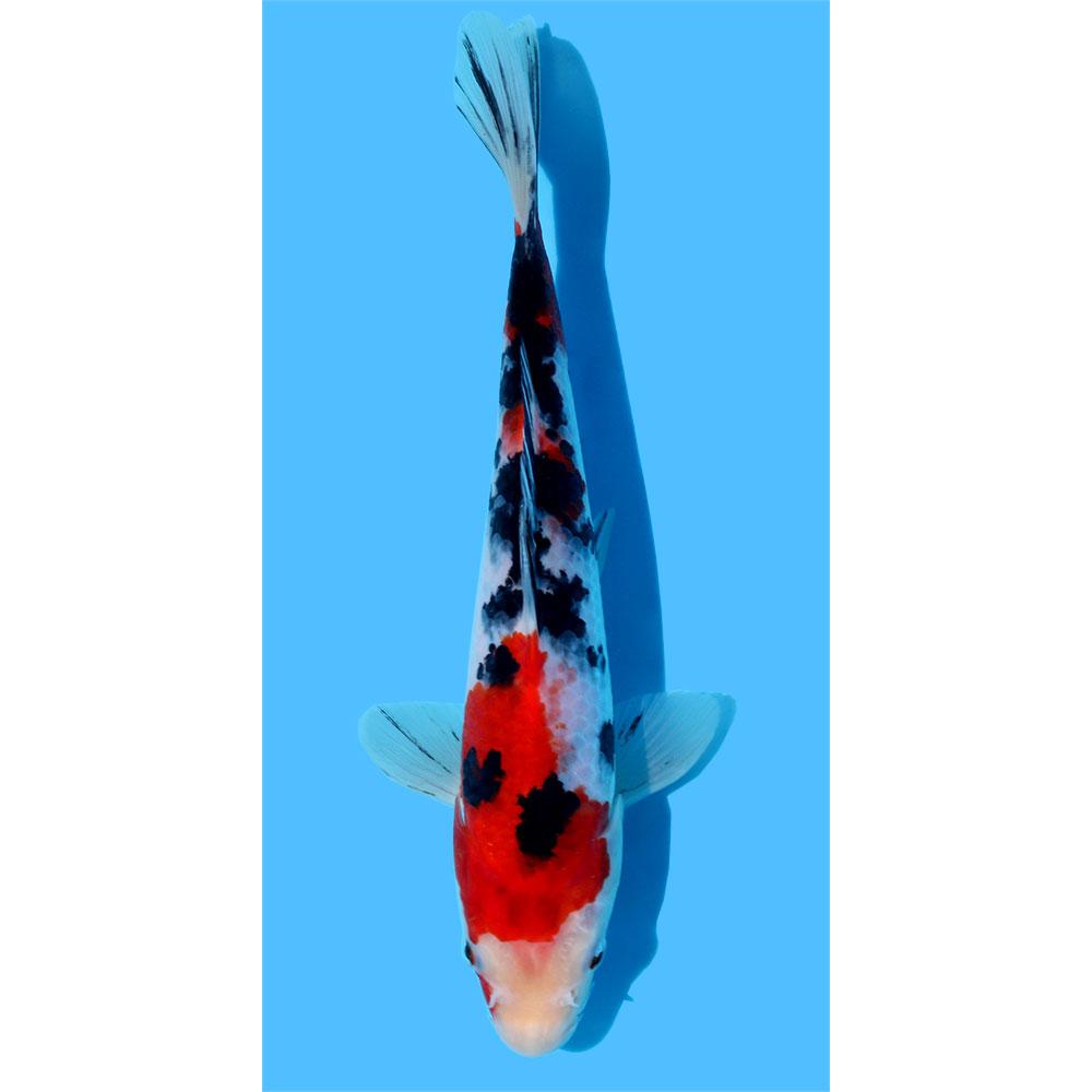 (錦鯉)大正三色 15〜20cm(3匹)