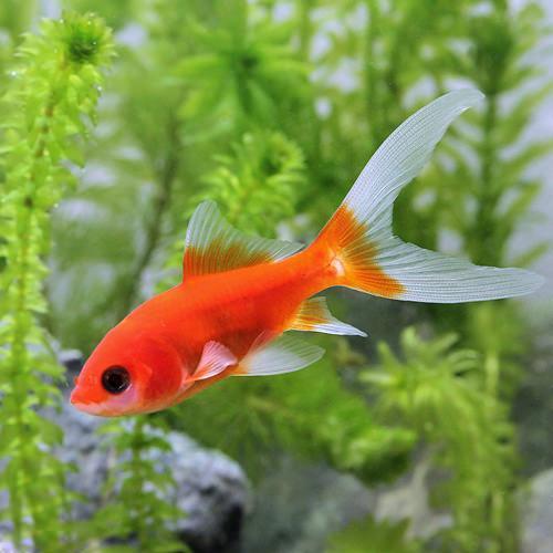 (国産金魚)紅葉コメット(3匹)
