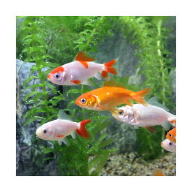 (国産金魚)よりなし和金 素赤〜更紗〜白 平賀養魚場産(10匹)