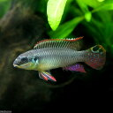 (熱帯魚)ペルヴィカクロミス・タエニアータス ナイジェリアグリーン(1ペア)