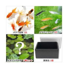 (めだか)(水草)水辺のなかよし飼育セット メダカミックスとおたま金魚(浮き草付き) 本州四国限定 お一人様3点限り