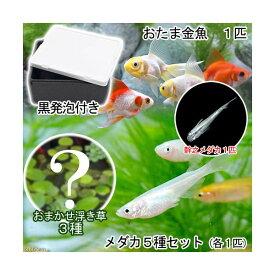 (めだか)(水草)水辺のなかよし飼育セット メダカ5種とおたま金魚(浮き草 幹之メダカ付き) 本州四国限定 お一人様3点限り