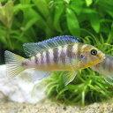 (熱帯魚)ゴールデンゼブラ・シクリッド Mサイズ(1匹)