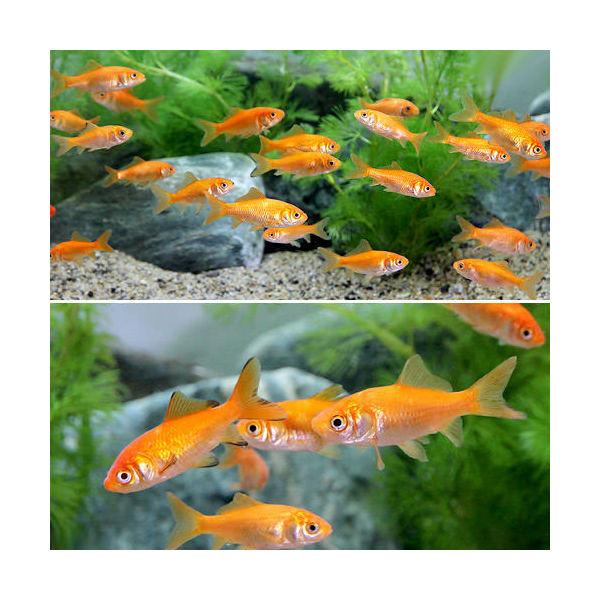 (金魚)生餌 小赤 エサ用金魚 大和郡山産(300匹) エサ金 餌金 沖縄別途送料