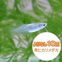 (めだか)よりなし(無選別)青ヒカリメダカ/青ひかりめだか(10匹)