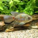 (熱帯魚)ロングフィン・タイガーオスカー(1匹)