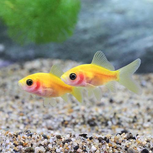(国産金魚)スケルトンゴールデンコメット(3匹)