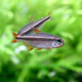 (熱帯魚)レッドデビル・テトラ(ワイルド)(3匹) 沖縄別途送料
