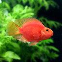 (熱帯魚)キングコングパロットファイヤー Sサイズ(3匹)