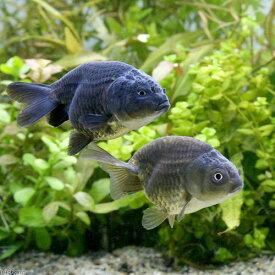 (国産金魚)黒らんちゅう(1匹)