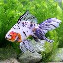 (国産金魚)一点物 オーロラ 木村養魚場産(1匹)