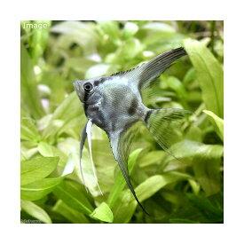 (熱帯魚)エンゼルフィッシュ ブルー ベールテール(国産ブリード)(1匹) 北海道・九州航空便要保温