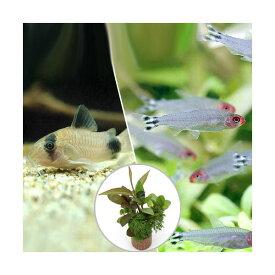(熱帯魚)(水草)ビギナースタートセット ラミーノーズ・テトラ(ブリード)(10匹)+コリドラス・パンダ(3匹)