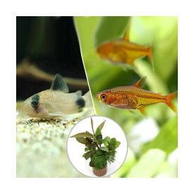 (熱帯魚)(水草)ビギナースタートセット ファイアー・テトラ(10匹)+コリドラス・パンダ(3匹)