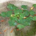 (ビオトープ/水辺植物)ヒシ(3株)