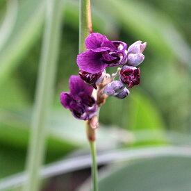 (ビオトープ)水辺植物 タリア デアルバータ(1ポット) 湿生植物